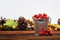 Autumn still life. Hawthorn berries crataegus in metal bucket and pine cones and oak leaves on background selective focus.Seasonal natural decorations on an stock image
