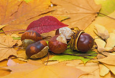 Autumn still life with chestnuts. Still life with chestnuts on autumn leaves Royalty Free Stock Photography
