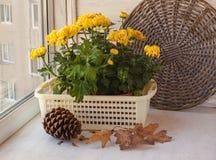 Autumn Still Life com o crisântemo do amarelo do grande-indiano Fotografia de Stock