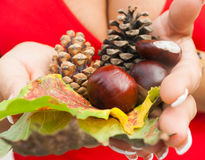 Autumn still life with female hands full leaves, pine c Stock Image
