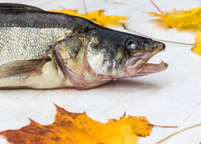 Autumn Still Life. Old fish on a white table Stock Photography