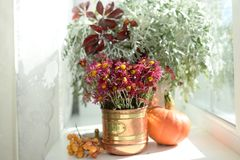 Autumn still life with pumpkin at a window in sunlight in a copper vase claret flowers of a chrysanthemum royalty free stock image