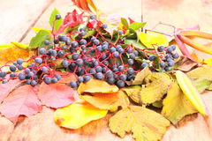 Autumn still-life with wild grape, leaves and more Royalty Free Stock Images