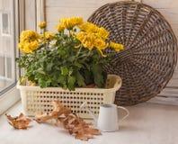 Autumn Still Life with yellow chrysanthemum Stock Photo