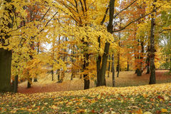 Autumn still life with yellow maple leaves Royalty Free Stock Photos