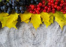 Autumn still life from yellow maple leaves, black grapes and red royalty free stock photography