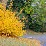 Autumn street with fall maple tree displaying colorful foliage Stock Photography