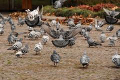Autumn street full of many grey pigeons. Autumn square full of the group of many grey street pigeons walking and flying over the pavement royalty free stock photo