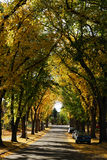 Autumn street view in edmonton. Beautiful autumn view of trees and golden leaves when wandering along a serene local street, city edmonton, alberta, canada Royalty Free Stock Photos