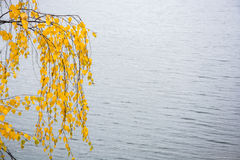 Autumn study. Bright yellow birch leaves hang down on long branches over the water Royalty Free Stock Image
