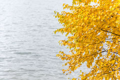 Autumn study. Bright yellow birch leaves on a soft background of water royalty free stock photo
