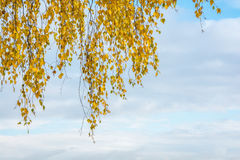 Autumn study. Large branch of a birch tree with yellow leaves against the sky Stock Photography