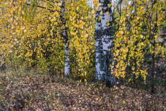 Autumn study. Long birch branches with yellow leaves against white trunks of birches royalty free stock photography