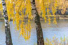 Autumn study. Long branch of a birch tree with bright yellow leaves down to the water Stock Photo