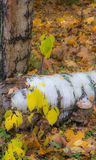 Autumn study. Yellow autumn leaves on slender branches. White birch trunk lying on the carpet of orange and yellow leaves royalty free stock images