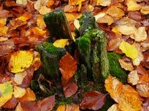 Autumn stump. Tree stump with autumn leaves Royalty Free Stock Images