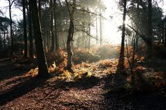 Autumn sulight in woodland. Early sun rays casting shadows through trees in woods lighting up bracken and woodland floor Royalty Free Stock Image