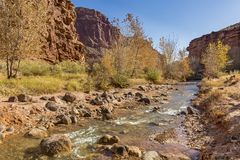 Autumn on Sulphur Creek. Cottonwood Trees losing their golden autumn leaves along the Sulphur Creek trail in Capitol Reef National Park, Utah Royalty Free Stock Photography