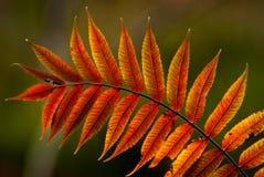 Autumn Sumac fotografía de archivo