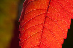 Autumn sumac leaf Stock Images