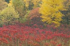 Autumn Sumac Meadow Stock Photography