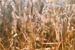 Autumn or summer field with dry grass in sunset light, natural background, beautiful landscape of nature, vintage filter Royalty Free Stock Images