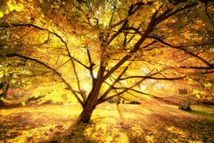 Autumn sun enchanting a beautiful tree Royalty Free Stock Photography