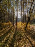 Autumn sun in the forest through the yellowing trees royalty free stock photography