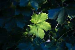 Autumn sun leafes Royalty Free Stock Image
