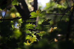 Autumn sun leafes Royalty Free Stock Photography