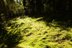 The autumn sun path on the forest ground cover of moss Stock Image