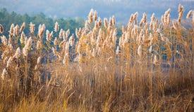 Autumn sun through reed Royalty Free Stock Photos