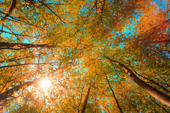 Autumn Sun Shining Through Canopy Of Tall Maple Trees. Upper Branches Of Tree With Yellow Orange Colors Foliage. Stock Photos
