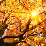 The autumn sun shining through gold leaves Stock Images