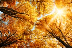 The autumn sun shining through golden treetops Stock Image