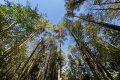Autumn Sun Shining Through Polish Forest. Royalty Free Stock Images