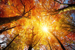 Autumn sun shining through tree canopy Stock Photography