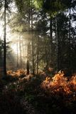 Autumn sun in woodland. Low autumn sun in woods casting rays of light onto wood floor and bracken Stock Image
