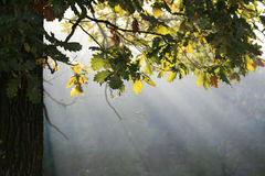 Autumn sunbeams. Morning sunbeams on a autumn forest (background Royalty Free Stock Photo