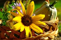 Autumn Sunflower Images stock
