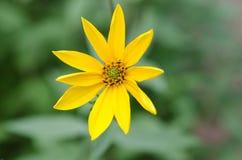 Autumn Sunflower imagem de stock royalty free