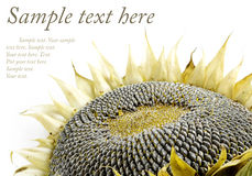 Autumn sunflower on white. Autumn sunflower with ripe seeds isolated on white background with copyspace and sample text Stock Image