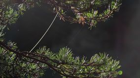Autumn Sunlight Caught On A Pine Tree Needles With Spiders Web Swinging In The Breeze During Autumn Habitat Afternoon