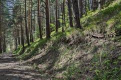 Autumn sunlit forest pine-trees with ecological path, Vitosha mountain Stock Photo