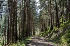 Autumn sunlit forest pine-trees with ecological path, Vitosha mountain Stock Photos