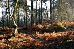 Autumn sunlit woodland. Early morning sun in woods casting shadows and lighting up bracken on woodland floor Stock Photo