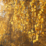 Autumn sunny abstract background, leafs branch tree Royalty Free Stock Photo