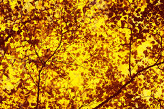 Autumn sunny background, sunlight shines through yellow leaves of tree Stock Photography