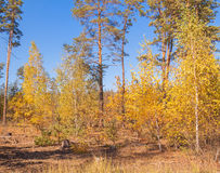 Autumn sunny day in a pine forest Stock Photography