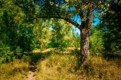 Autumn Sunny Forest Trees grönt gräs, gränd, bana Royaltyfri Foto